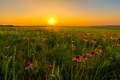 sunset-prairie-field-purple-coneflowers-wildflowers-important-part-restoration-them-50459701