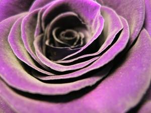 rose-bloom-384068_1280